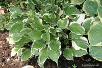 Hosta 'Torchlight' - Funkia