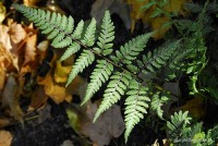 Athyrium nipponicum 'Red Beauty'  - Wietlica japońska 'Red Beauty'