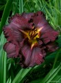 "Hemerocallis ""Black Stockings"""