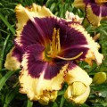 "Hemerocallis ""Tiger Blood"" fot. KG"