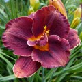 "Hemerocallis ""Night Embers"" fot. KG"