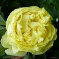 "Paeonia ""Yellow Crown"" fot. KG"