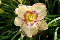"Hemerocallis ""Antique Linen"""