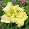 "Hemerocallis ""Finders Keepers"" fot. KG"