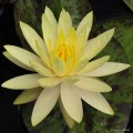 "Nymphaea ""Yellow Queen"""