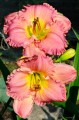 "Hemerocallis ""Absolute Treasure"""