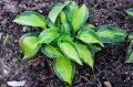 "Hosta ""Heat Wave"""