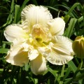 "Hemerocallis ""Bowl of Cream"" fot. KG"