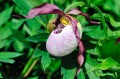 "Cypripedium ""Aki"""