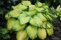 Hosta 'Stained Glass' - Funkia