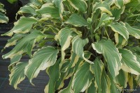 "Hosta ""Deliverance"" - funkia"