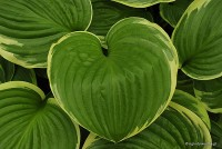 "Hosta ""All That Jazz"" - funkia"