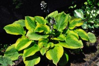 "Hosta ""Afterglow"" - funkia"