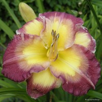 "Hemerocallis ""Cheese and Wine"" - liliowiec"