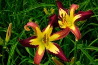 "Hemerocallis ""Applique"" - liliowiec"