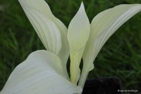 "Hosta ""White Feather"" - funkia"