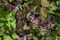 Epimedium 'Purple Pixie' - Epimedium