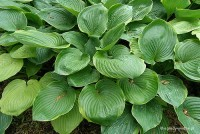 "Hosta ""Beauty Substance"" - funkia"