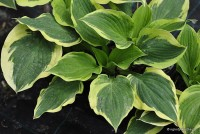 "Hosta ""Angel Feathers"" - funkia"