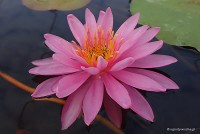 Nymphaea 'Perry's Magnificent' - Lilia wodna