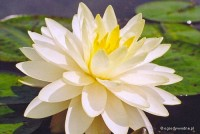 Nymphaea 'Perry's Double Yellow' - Lilia wodna