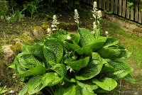 "Hosta ""Black Hills"" - funkia"