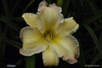 "Hemerocallis ""Beautiful Edgings"" - liliowiec"