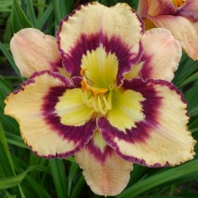 "Hemerocallis ""Spacecoast Sea Shells"" - liliowiec"