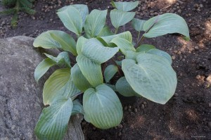 "Hosta ""Florence Nightingale"" - funkia"