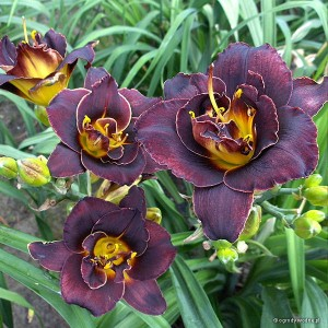 "Hemerocallis ""Voodoo Dancer"" - liliowiec"