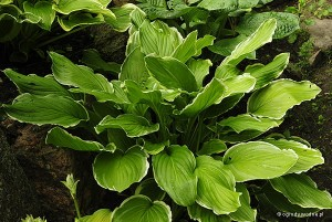 "Hosta ""So Sweet"" - funkia"