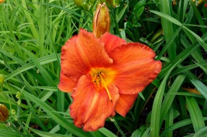 "Hemerocallis ""Chinese New Year"" - liliowiec"