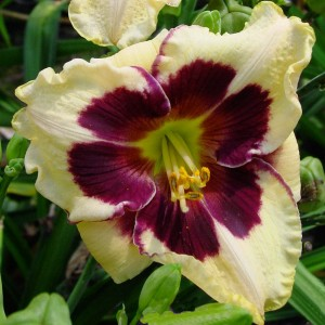 "Hemerocallis ""Celebration of Angels"" - liliowiec"