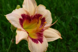 "Hemerocallis ""Blueberry Candy"" - liliowiec"