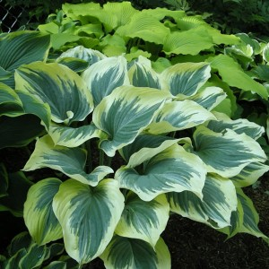 "Hosta ""Majesty"" - funkia"