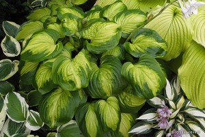 "Hosta ""Cathedral Windows"" - funkia"