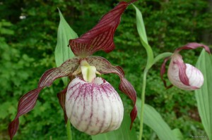 "Cypripedium ""Paul"" - obuwik"
