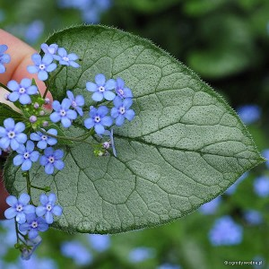 "Brunnera macrophylla ""Looking Glass"" - brunera wielkolistna"