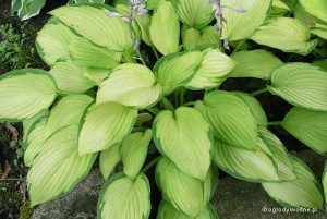 "Hosta ""Color Glory"" - funkia"