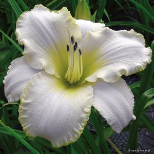 "Hemerocallis ""Blizzard Bay"" - liliowiec"
