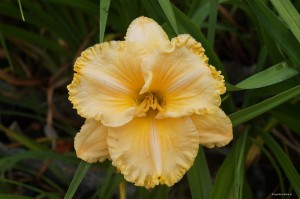 "Hemerocallis  ""America's Most Wanted"" - liliowiec"