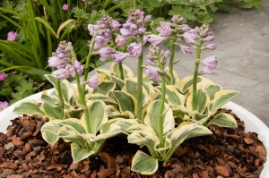 "Hosta ""Mighty Mouse"" - funkia"
