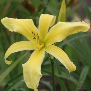 "Hemerocallis ""Let Loose"" - liliowiec"