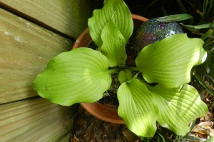 "Hosta ""Dancing Queen"" - funkia"