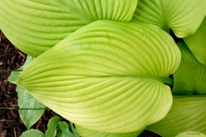 "Hosta ""Key West"" - funkia"
