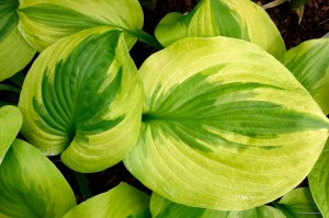 "Hosta ""Summer Breeze"" - funkia"