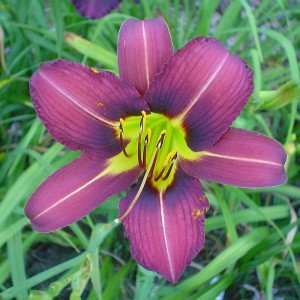 "Hemerocallis ""Purple Waters"" - liliowiec"
