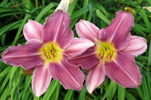 "Hemerocallis ""Prairie Blue Eyes"" - liliowiec"