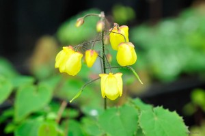 "Epimedium ""Sunny and Share"" - epimedium"