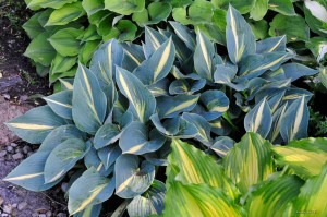 "Hosta ""Party Popper"" - funkia"